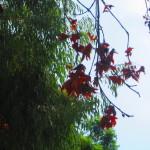 Brown Leaves Hanging Off A Liquidambar Tree