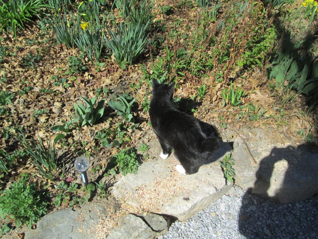 Annie Cat Walking Near Daffodils